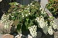 Hydrangea quercifolia 2004ja 01.jpg