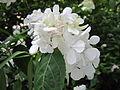 Hydrangea serrata 'Beni Temari' 1.jpg