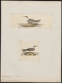 Hydrochelidon javanica - 1700-1880 - Print - Iconographia Zoologica - Special Collections University of Amsterdam - UBA01 IZ17900382.tif