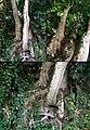 Hymenaea courbaril - Trunk.jpg