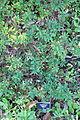 Hypericum uralum - San Francisco Botanical Garden - DSC09951.JPG