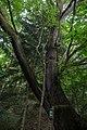 ID 1318 Quercus.jpg