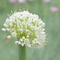 IMG 7460-Allium pskemense.jpg