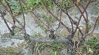Taille de la vigne wikip dia - Tailler la vigne raisin de table ...