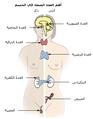 Illu endocrine system-ar.png