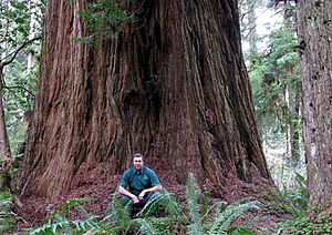 Prairie Creek Redwoods State Park - An Arborist in Prairie Creek Redwood State Park, next to a Coast Redwood called Iluvatar, in 2008. This was (2013) the third largest coast redwood known.