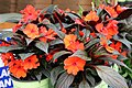 Impatiens hawkeri Harmony Orange 2zz.jpg