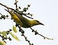 Indian Golden Oriole (Oriolus kundoo), on Ficus religiosa W IMG 8219.jpg
