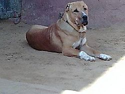 Indian Mastiff Bully Kutta.jpg