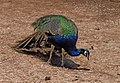 Indian Peafowl-1.jpg