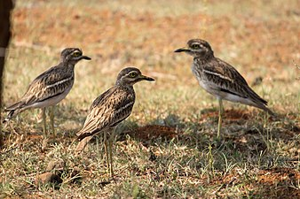 Indian Stone-curlew, Pune, India 1.jpg