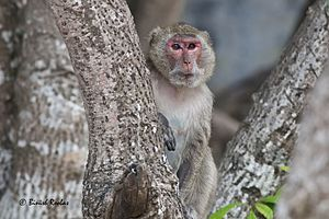Rhesus macaque - Indochinese Rhesus Macaque (Macaca mulatta siamica) from Monkey Island, Cat ba National Park, Vietnam