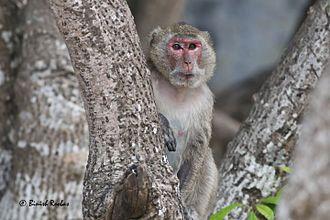 Rhesus macaque - Indochinese Rhesus Macaque (Macaca mulatta siamica) from Monkey Island, Cat Ba National Park, Vietnam
