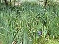 Iris pseudacorus - Kunming Botanical Garden - DSC03079.JPG