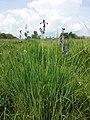 Iris sibirica sl3.jpg