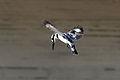 Israel. Pied Kingfisher (6497645189).jpg