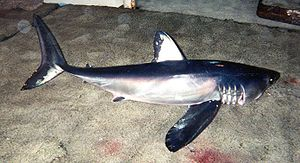 Longfin mako shark - The longfin mako is caught as bycatch on pelagic longlines.