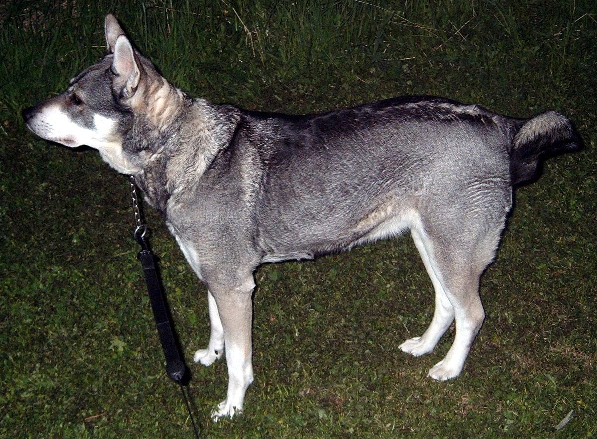 Norwegian Elkhound Dogs For Sale