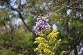 Jacaranda mimosifolia 5.jpg