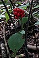 Jack-in-the-Pulpit (Arisaema triphyllum) - Guelph, Ontario.jpg
