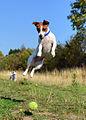 Jack Russell Terrier Lola.jpg