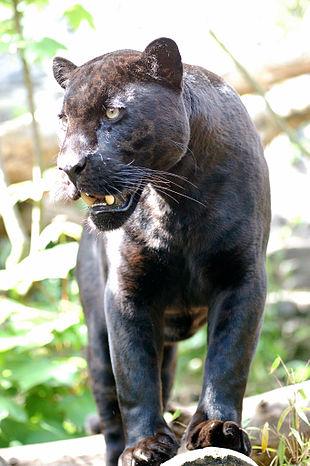 černá vs asijské kočička