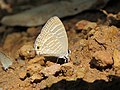 Jamides celeno - Common Cerulean mud puddling at Peravoor (13).jpg