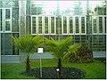 January Frost Botanic Garden Freiburg China Hanfpalmen des Directors - Master Botany Photography 2014 - panoramio.jpg