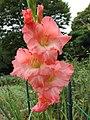 Japan Gladiole.JPG