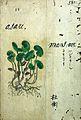 Japanese Herbal, 17th century Wellcome L0030047.jpg
