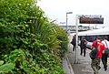 Japanese Knotweed at Dorchester South Station - geograph.org.uk - 910456.jpg