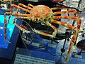 Japanese spider crab Stuffed specimen.jpg
