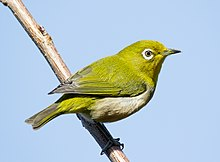 Japanese white-eye at Tennōji Park in Osaka, January 2016 II.jpg
