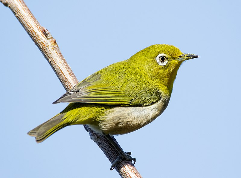 File:Japanese white-eye at Tennōji Park in Osaka, January 2016 II.jpg
