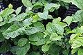 Jasminum sambac 15zz.jpg