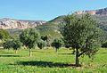Jesús Pobre, camp d'oliveres al costat de l'alqueria de Colomer.JPG