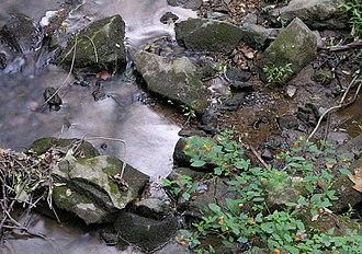 Impatiens capensis - Image: Jewel Weed Impatiens capensis Creek Side 3200px