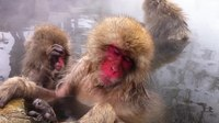 ファイル:Jigokudani Monkey Park - hotsprings.ogv