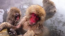 Archivo:Jigokudani Monkey Park - hotsprings.ogv