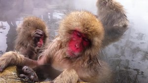 File:Jigokudani Monkey Park - hotsprings.ogv