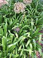 Johannesburg Botanical Garden Herb section04.JPG