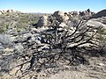Joshua Tree National Park - California 11-22-2015 - panoramio (1).jpg
