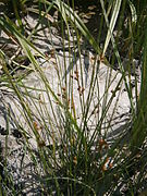 Juncus filiformis01.jpg