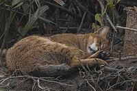 Jungle Cat Felis Chaus Sundarbans India 30.12.2014.jpg