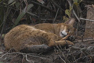 The jungle cat rests during the hot midday hours. Jungle Cat Felis Chaus Sundarbans India 30.12.2014.jpg
