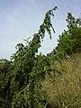 Juniperus communis subsp. communis sl6.jpg