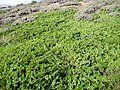 Juniperus sabina Habitus 2009-7-2009 2100m SierraNevada.jpg