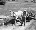 Kajžarjev Ivan iz Podloža vozi seno s kravo 1962 (cropped).jpg