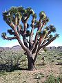 Kaktus-drzewiasty.jpg