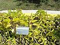 Kalanchoe pinnata (Bryophyllum calycinum) - Jardim Botânico de Brasília - DSC09670.JPG